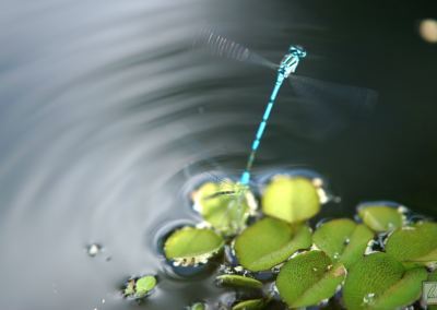 Libelle Befruchtung