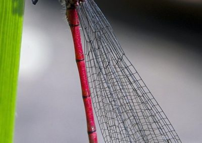 Libelle (Adonislibelle)