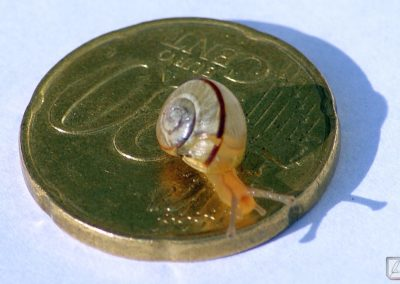 Mini-Schnecke