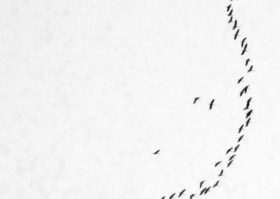Kraniche über Lohr_01