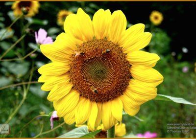 Sonnenblume in Sailauf_01