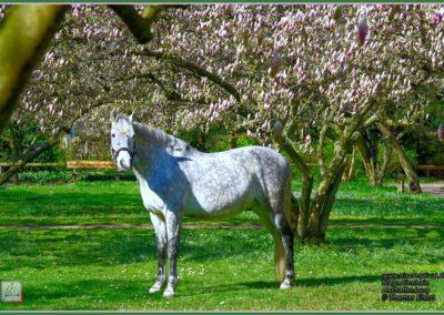 Pferd im Magnolienhain 010